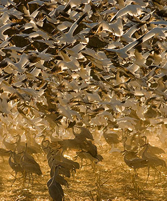 Snow Geese and Sandhill Cranes, Bosque del Apache National Wildlife Refuge, New Mexico